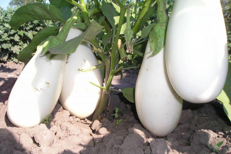 білий баклажан